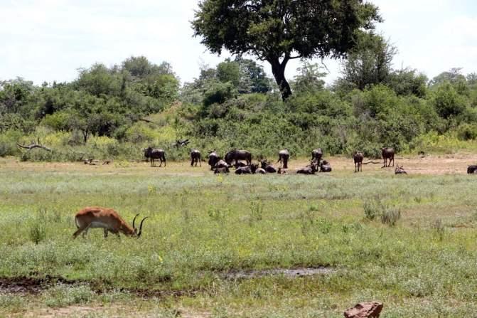 Many wilderbiests resting.