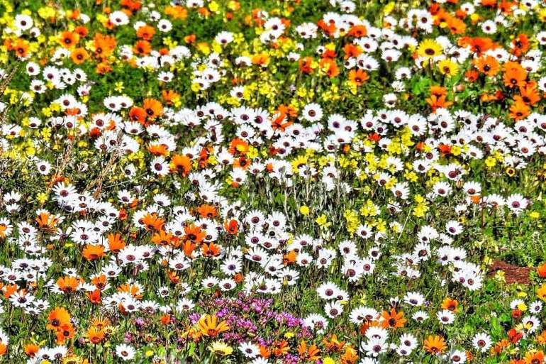 The fields of daisies in Namaqualand, South Africa