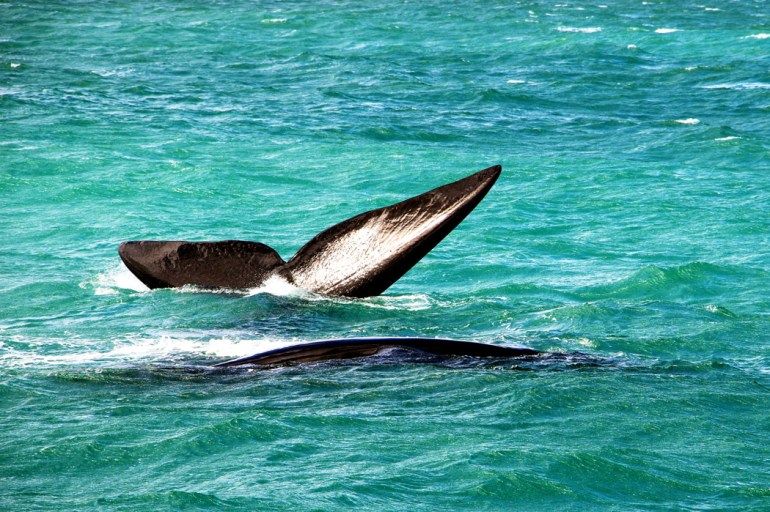 Two Southern Right Whales - a mother and a calf.