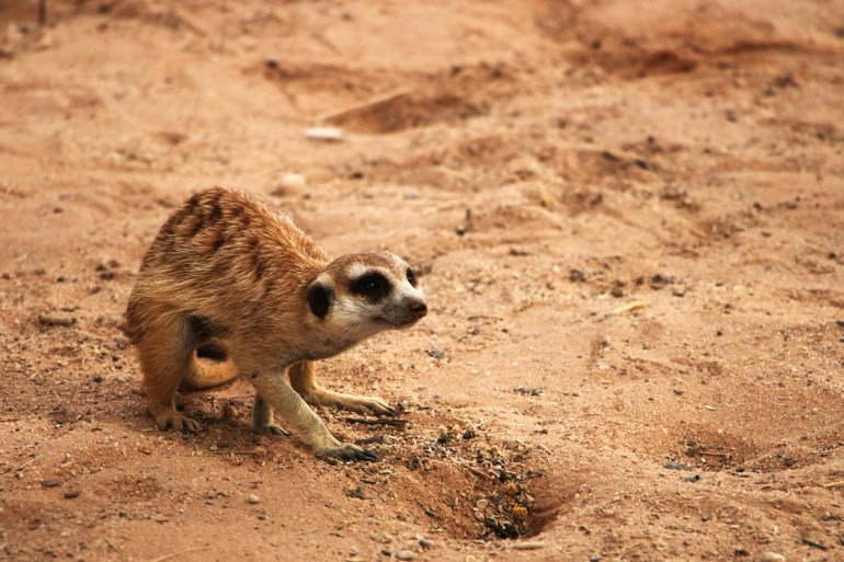 meerkat Mata Mata