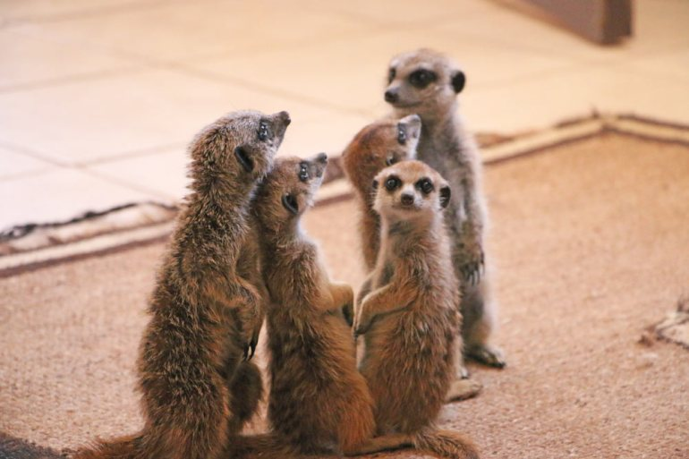 Little meerkats inside the house at the Sanctuary in the Kalahari