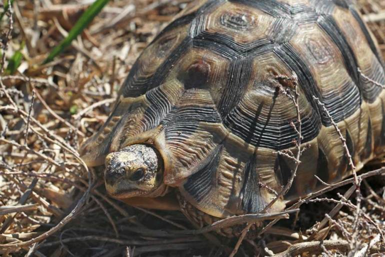 A tortoise crawling through the bush at Cape Point Nature Reserve
