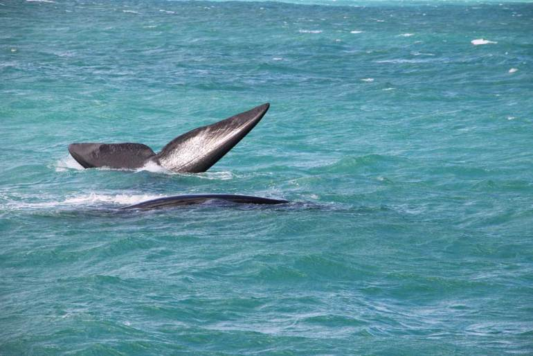A couple of Southern Right whale in the water near Hermanus