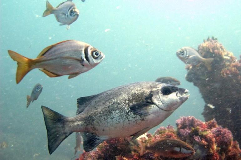 Cape Knife Jaw diving Castle Rock simons town