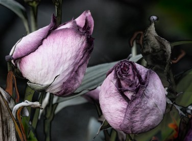 Two old roses