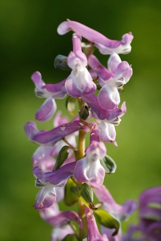Bulbous Corydalis (pink flower). Photo: It Fryske Gea.