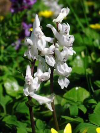 Bulbous Corydalis (white flower). Photo: It Fryske Gea.