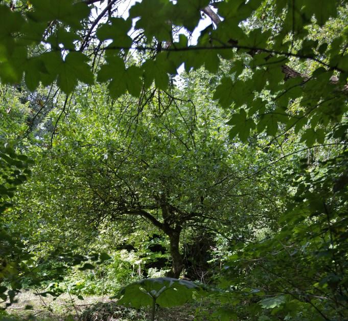 Notarisappelboom, 'Mondriaan appelboom'