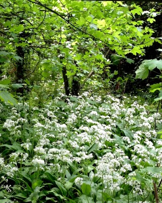 22 May 2013. Bear's Garlic along the forest lane.