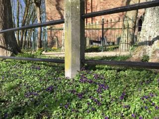 Maarts viooltje Stiens