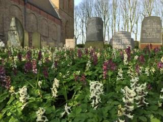 Holwortel op het St.Vitus kerkhof in Stiens.