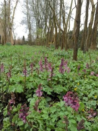 Holwortel in het bosje bij Stinze Stiens.