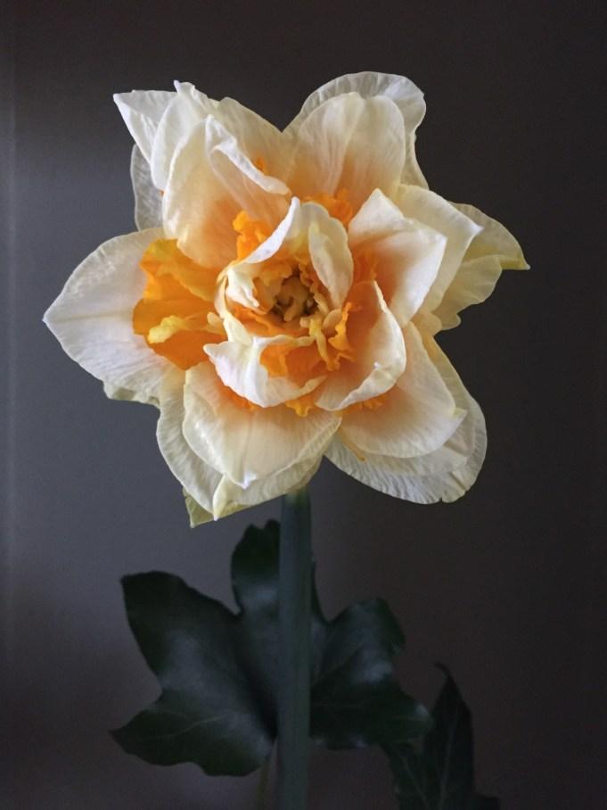 Orange Phoenix. Historische narcis geregistreerd voor 1731.
