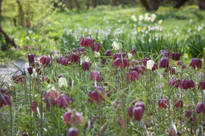Kievitsbloemen, op de achtergrond Zomerklokken bij Stinze Stiens.