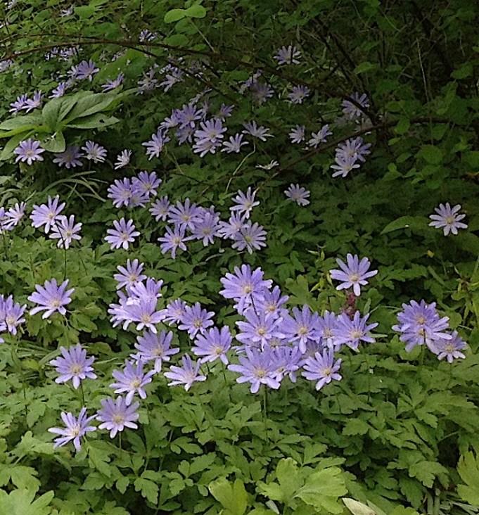 Blauwe anemoon bij Philippusfenne.