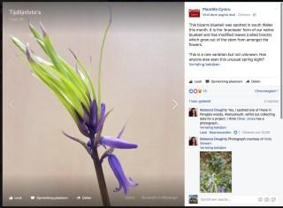 Bijzondere Hyacint in Wales, gemeld op Facebook