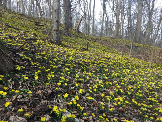 Winter Aconites, 'Winterlinge', in the hillside forest at Closewitz (Germany).