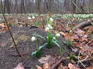 Springdrops with green and yellow dots on the petals. Snowflake forest, 'Märzenbecherwald', near Großschwabhausen (Germany).