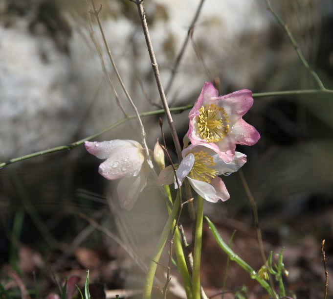 Slovenia, Christmas Rose, Helleborus niger. Photo: Stinze Stiens.