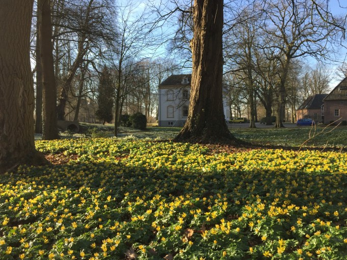 Winter Aconites at Estate Huis Baak.