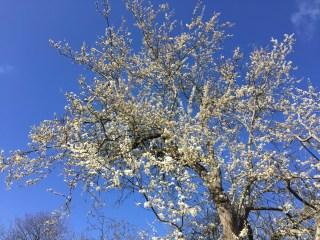 Wild plum at Stinze Stiens.
