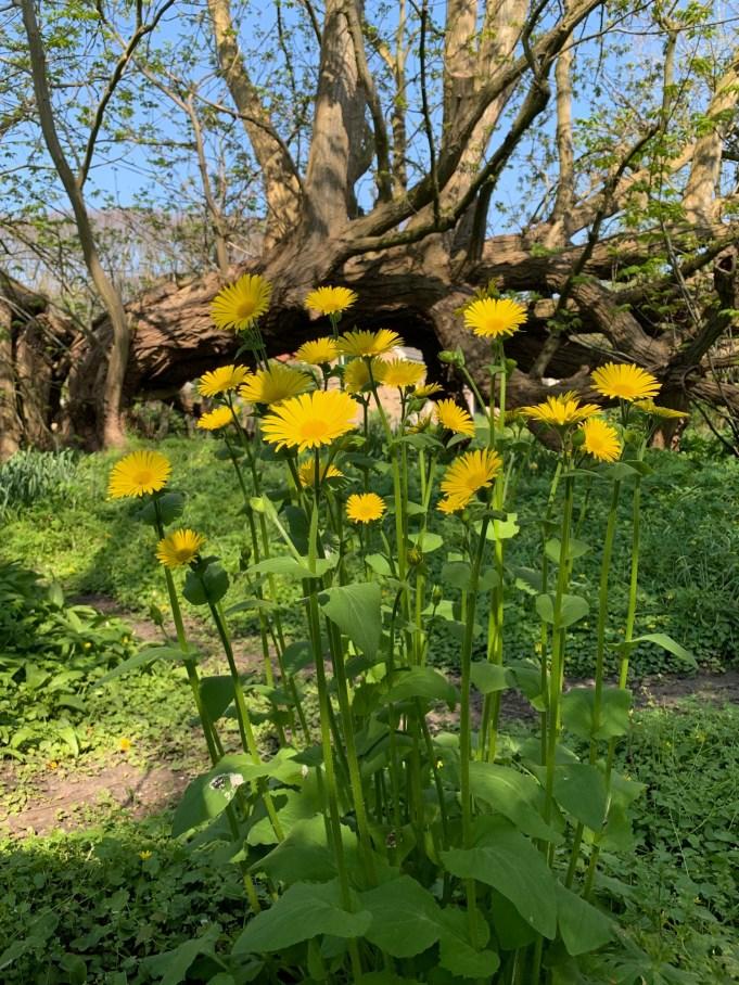 Voorjaarszonnebloem, Weegbreezonnebloem, (Doronicum plantagineum) bij Stinze Stiens.