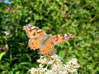 Distelvlinder op de Wilde liguster bij Stinze Stiens.