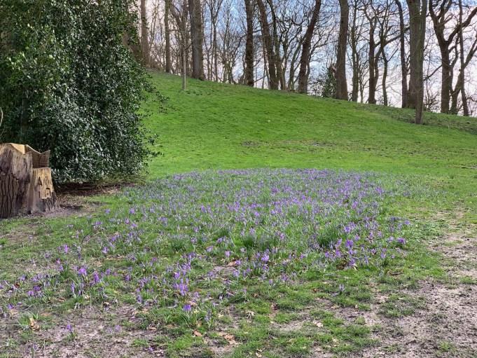 Bonte krokus aan de voet van de heuvel, Heremastate (Joure).