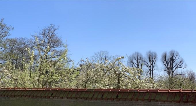 Perenbomen in bloei op Dekema.