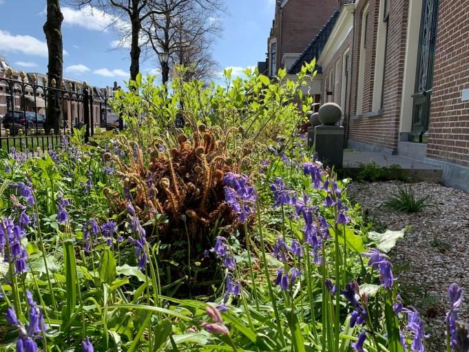 Wilde hyacint, voortuin Stinze Stiens.