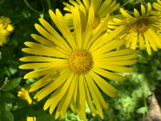 Weegbreezonnebloem (Doronicum plantagineum), Stinze Stiens.