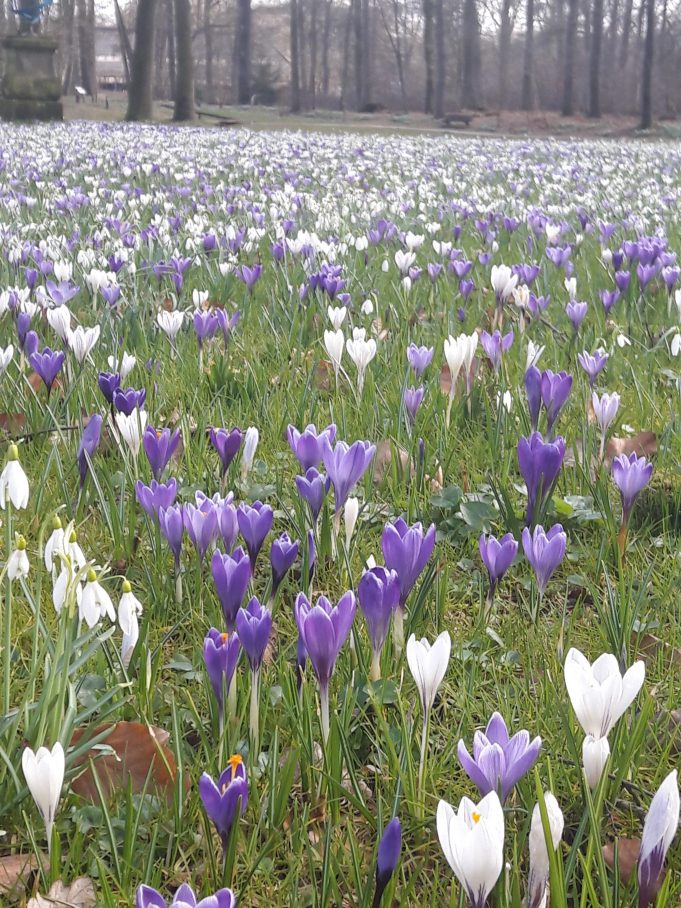 Dutch Crocuses at Hackfort.