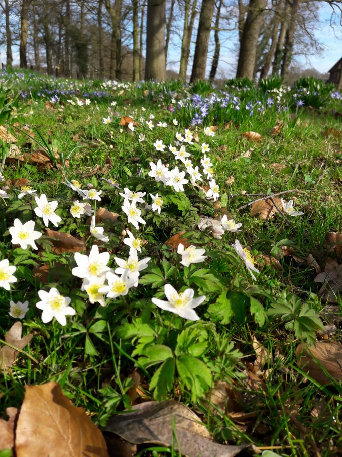 Wood Anemones and Glory-of-the-snow at Hackfort.