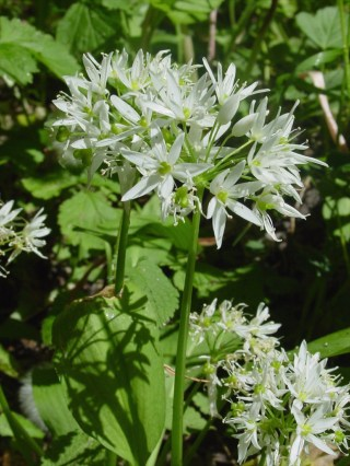 Bear's Garlic (Allium ursinum)