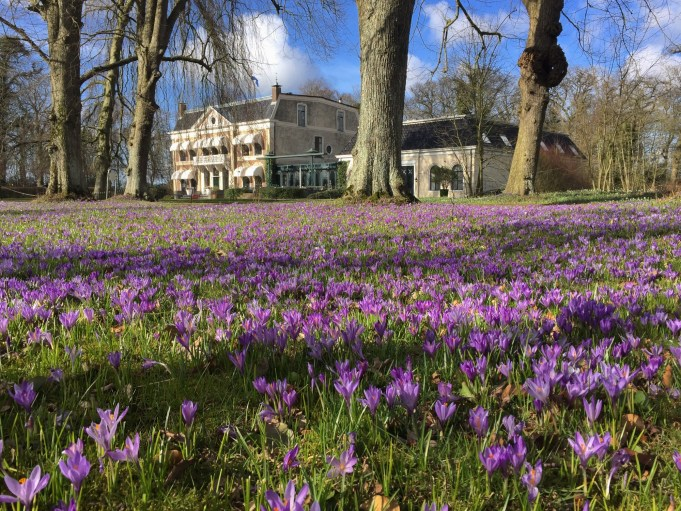 Dutch crocus at the De Klinze estate in Aldtsjerk.