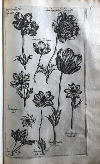 Diverse soorten Anemonen. LE JARDIN DU ROI (1608).