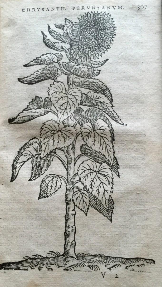 Chrysanth. Peruntanum Dodoens 1569