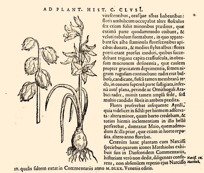 Carolus Clusius, Rariorum plantarum historia, 1601.