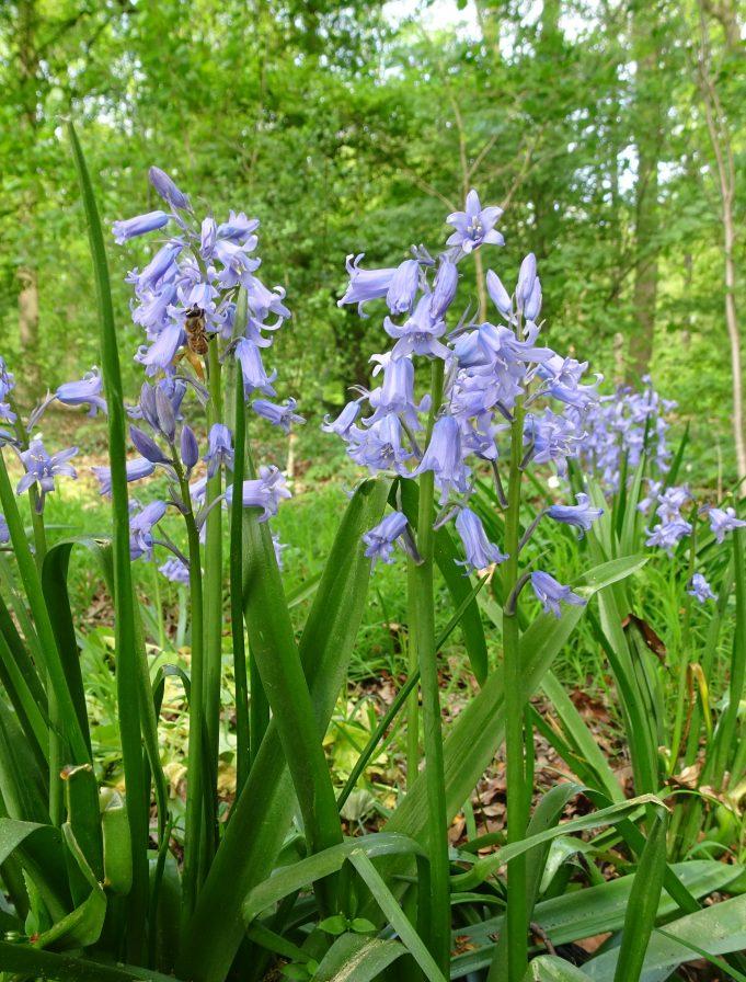 Wilde hyacint op Hackfort.
