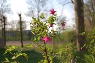 Schierstins, Salmon berry (Rubus spectabilis).