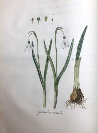 J.C. Sepp & zn., Jan Kops, Flora Batava, dl. I (pl.14), Amsterdam 1800.