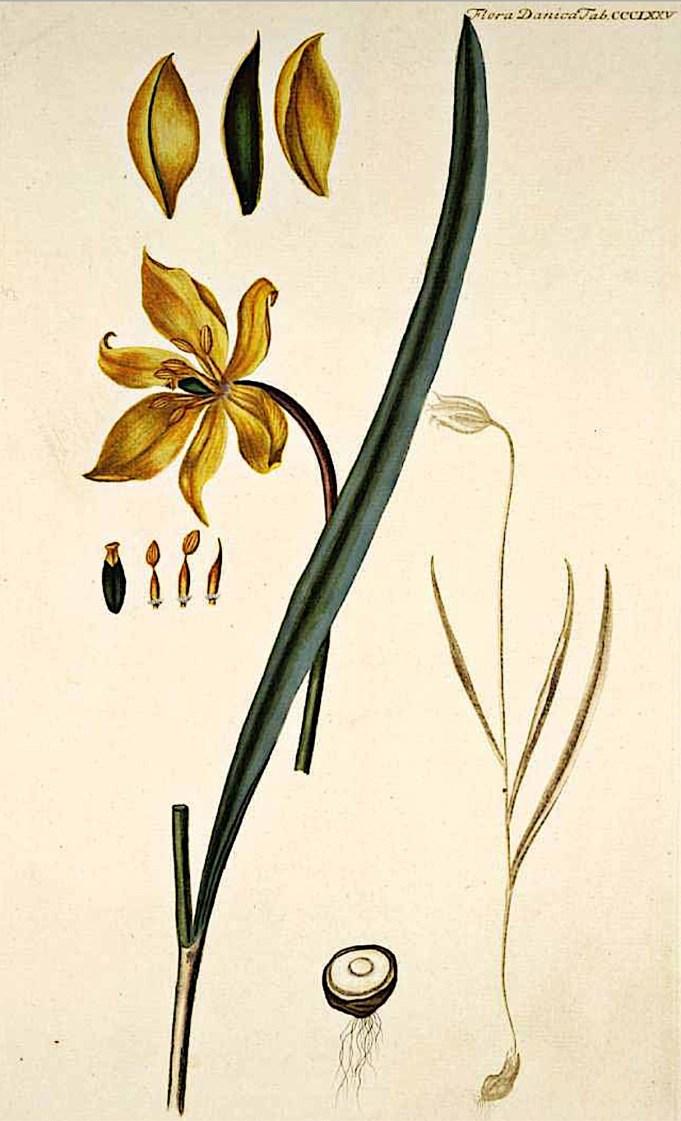 Tulipa Sylvestris, Flora Danica, 1761-1883