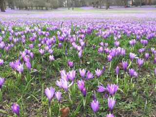 Crocus neglectus in het Schlosspark in Husum. Foto Stinze Stiens.