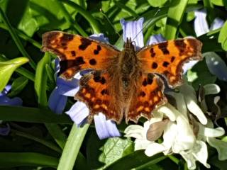 Butterfly Comma in the Martenatuin (Franeker) on the Glory-of-the-Snow.