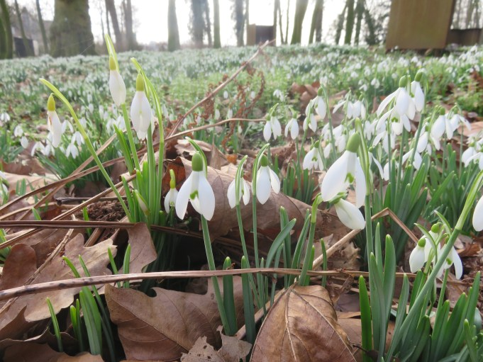 Diifferent Snowdrops in Park Jongemastate.