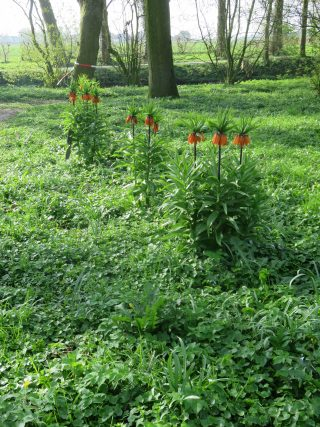 The Fritillaria Imperialis in Park Jongemastate.