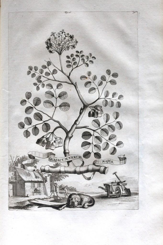 Guajacum Verum. Munting 1696.