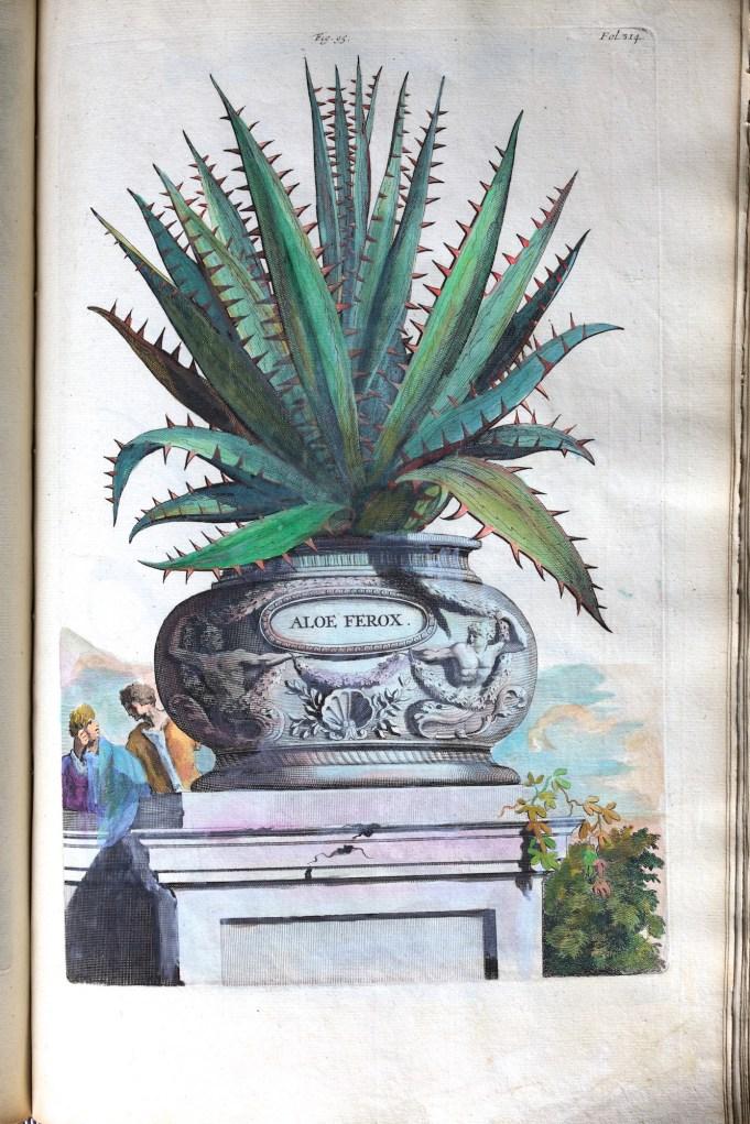Aloe Ferox. Munting 1696.
