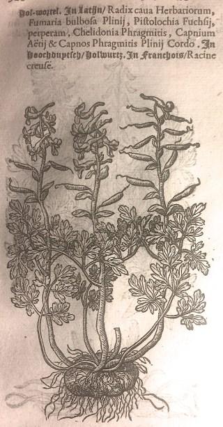 Holwortel in: Matthias de Lobel, Kruydtboeck, Antwerpen 1581.