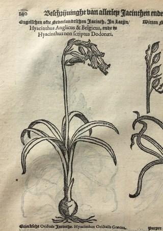 Hyacint in: Matthias de Lobel, Kruydtboeck, Antwerpen 1581